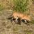 kırmızı · tilki · yol · gözler · doğa · güzellik - stok fotoğraf © wildnerdpix