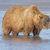 grizzly looking for salmon in estuary stock photo © wildnerdpix