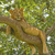 young male lion in a tree stock photo © wildnerdpix