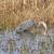 great blue heron searching for prey stock photo © wildnerdpix