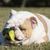 angol · bulldog · zöld · közelkép · komoly · visel - stock fotó © willeecole
