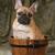 cute · cucciolo · francese · bulldog · seduta · lavare - foto d'archivio © willeecole