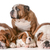 bulldog family stock photo © willeecole