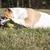 собака · привязь · теннисный · мяч · белый · теннис · мяча - Сток-фото © willeecole