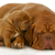cucciolo · dormire · labrador · retriever · bianco · cane - foto d'archivio © willeecole