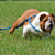 hond · vliegen · Engels · bulldog · bewolkt · blauwe · hemel - stockfoto © willeecole