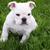 neuf · semaine · vieux · anglais · bulldog · chiot - photo stock © willeecole