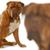 Bordeau · ül · fehér · fej · kép · kutya - stock fotó © willeecole