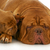moeder · puppy · vier · week · oude - stockfoto © willeecole