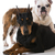 twee · honden · bulldog · doberman · samen · witte - stockfoto © willeecole