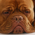 Bordeau · közelkép · részletek · arc · kutya · fehér - stock fotó © willeecole
