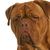 dogue de bordeaux head portrait stock photo © willeecole