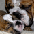 english bulldog mother cleaning eight week old puppy stock photo © willeecole