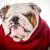 aanbiddelijk · hond · winter · trui · weinig - stockfoto © willeecole