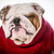 dog wearing sweater stock photo © willeecole