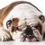 собака · позируют · белый · студию · счастливым · красоту - Сток-фото © willeecole