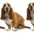 basset hound stock photo © willeecole