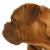 kutya · portré · Bordeau · közelkép · részletek · arc - stock fotó © willeecole