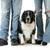 misto · border · collie · cão · isolado - foto stock © willeecole
