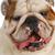 bulldog · bagno · english · vasca · acqua - foto d'archivio © willeecole