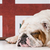 english bulldog stock photo © willeecole
