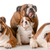 family of bulldogs stock photo © willeecole