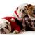 bulldog · család · négy · generációk · nagyszerű · nagymama - stock fotó © willeecole