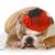 femminile · cucciolo · english · bulldog · indossare · rosso - foto d'archivio © willeecole