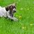 щенков · играет · за · пределами · работает · собака - Сток-фото © willeecole