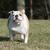 Engels · bulldog · groene · ernstig - stockfoto © willeecole
