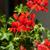 red garden geranium flowers stock photo © wjarek