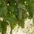 white grapes in the vineyard stock photo © wjarek