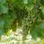 maturo · bianco · uve · messa · a · fuoco · selettiva · alimentare · verde - foto d'archivio © wjarek