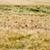 piros · pipacsok · kukoricamező · természet · kukorica · mezőgazdaság - stock fotó © wjarek