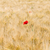 rouge · coquelicots · nature · maïs · agriculture - photo stock © wjarek