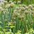 cebola · plantação · vegetal · jardim · comida · natureza - foto stock © wjarek