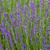 belo · roxo · lavanda · arbusto · coberto · denso - foto stock © wjarek