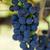 red grapes in the vineyard stock photo © wjarek