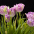 belle · pourpre · tulipes · isolé · noir · fleur - photo stock © wjarek