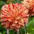 gekleurd · dahlia · bloem · macro · meervoudig · kleuren - stockfoto © wolterk