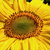 extreme sunflower closeup stock photo © wolterk