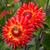 briljant · oranje · dahlia · groene · loof · voorjaar - stockfoto © wolterk