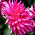 roze · dahlia · bloem · geïsoleerd · shot - stockfoto © wolterk
