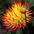 Orange and Yellow Dahlia Flower Macro stock photo © wolterk