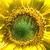 extreme sunflower closeup stock photo © wolterk