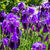Bed of Purple iris stock photo © wolterk