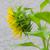 ayçiçeği · profil · karşı · çiçek · doğa · arka · plan - stok fotoğraf © wolterk