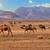 teve · sivatag · homok · piramisok · égbolt · nap - stock fotó © xantana