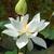 fleur · blanche · pur · symbole · Viêt-Nam - photo stock © xuanhuongho