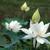 vietnamese flower white lotus flower stock photo © xuanhuongho